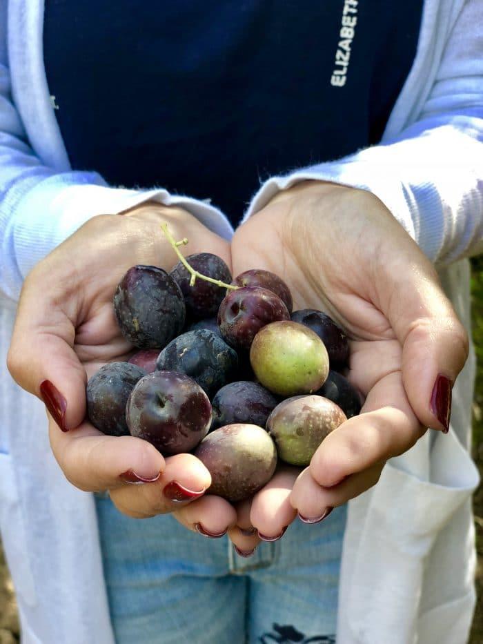 Handful of fresh olives.